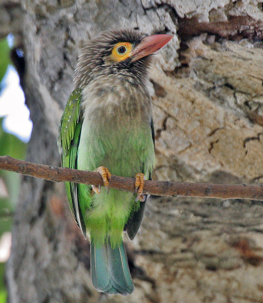 Brown headed barbets