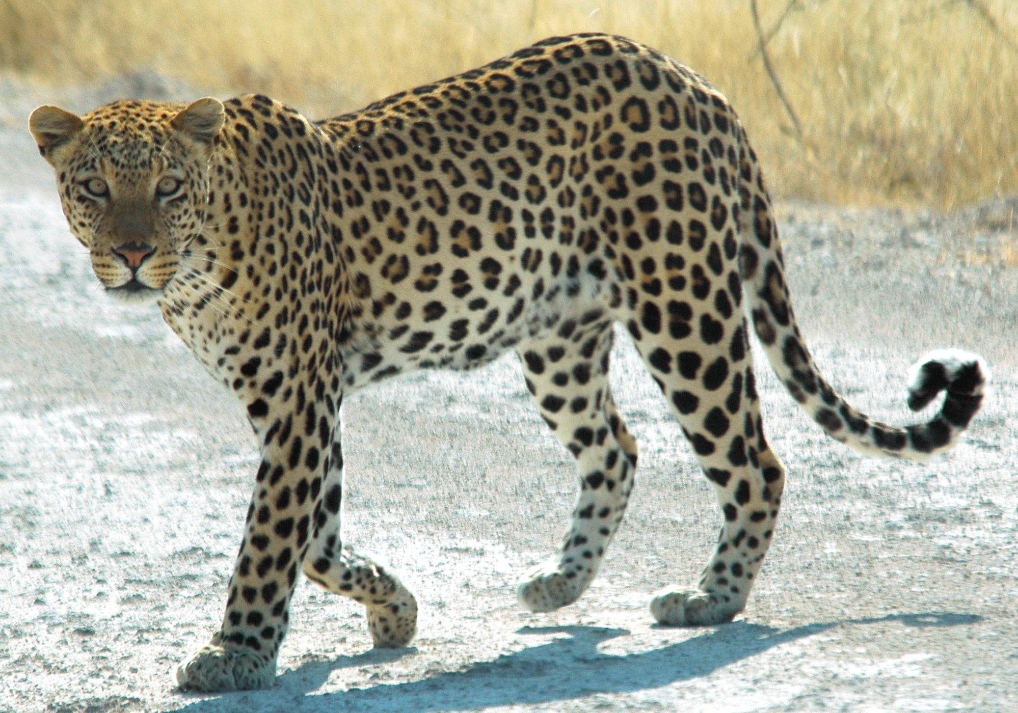 leopard wikipedia