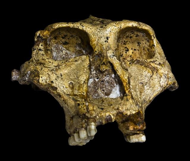 Paranthropus Robustus Wikipedia