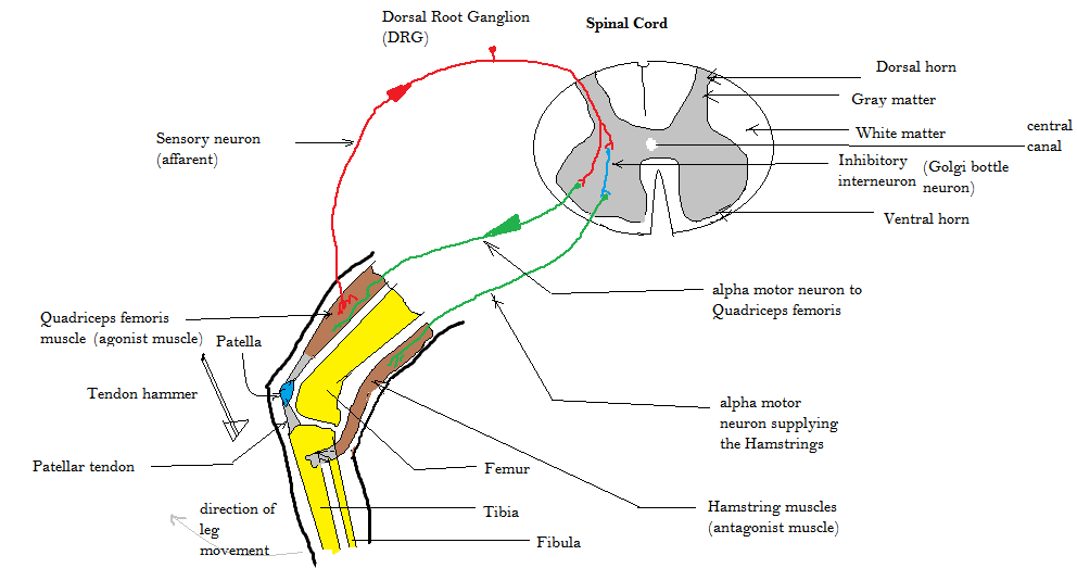 simple reflex arc diagram trane vav wiring westphal's sign - wikipedia