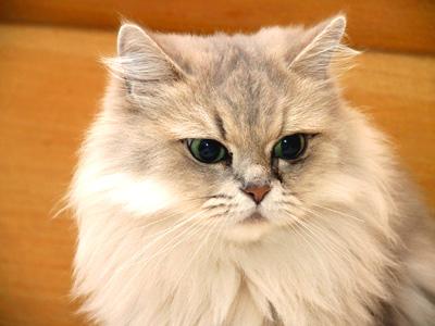 Risultati immagini per golden cat