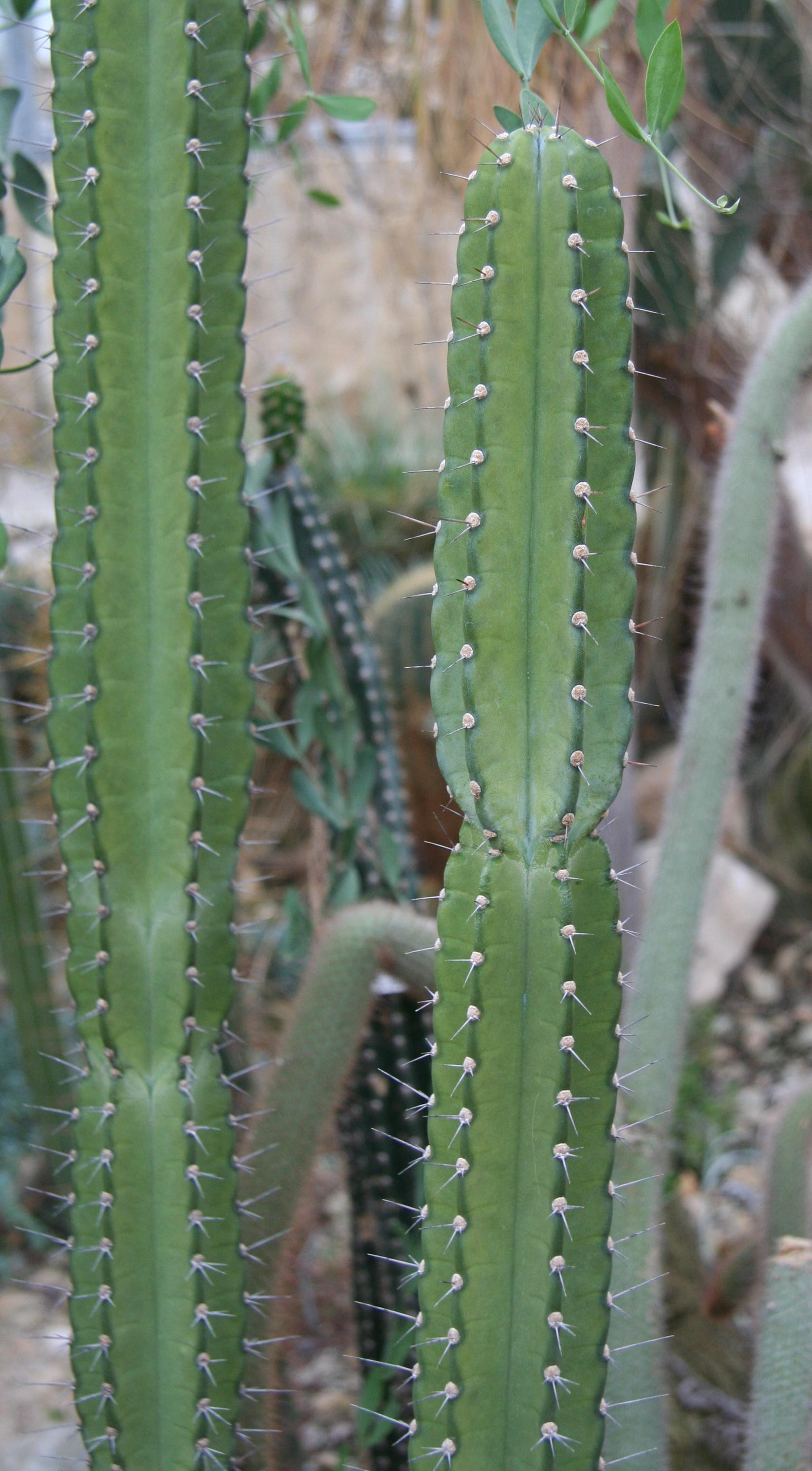 Cereus comarapanus  Wikipedia