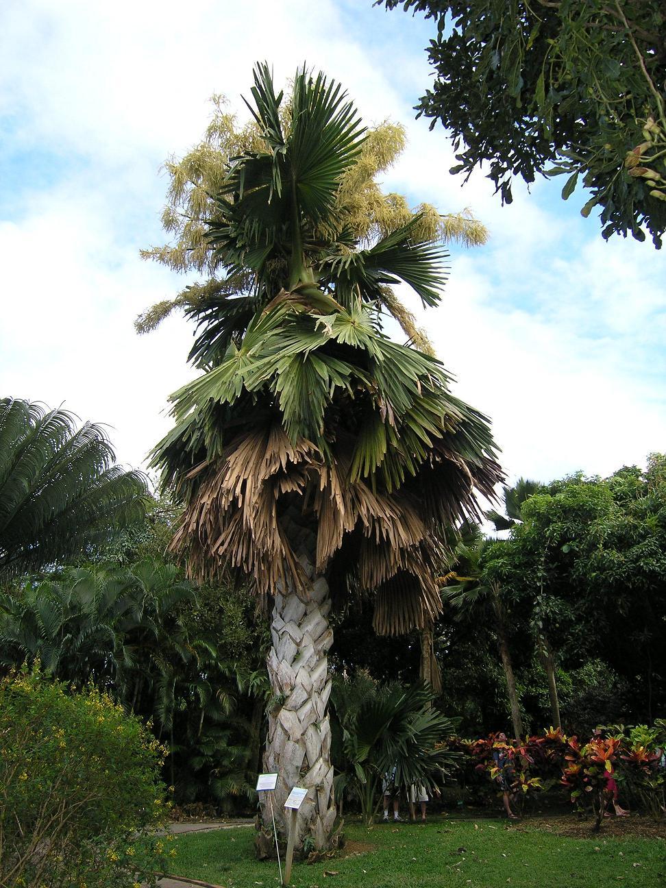 Talipot Palme Wikipedia