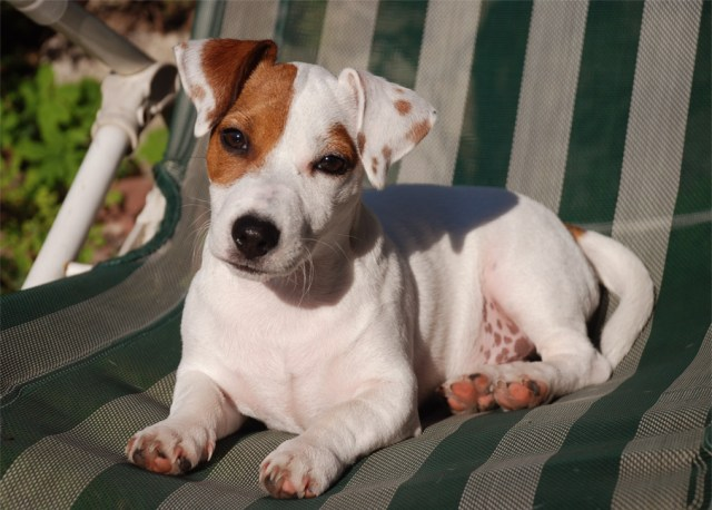Image result for Le Jack Russell Terrier wikipedia