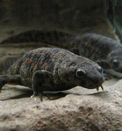 two grey newts taken from the front under water presumably in an aquarium [ 1862 x 1278 Pixel ]