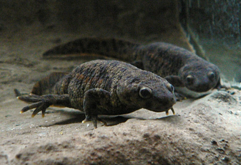 medium resolution of two grey newts taken from the front under water presumably in an aquarium