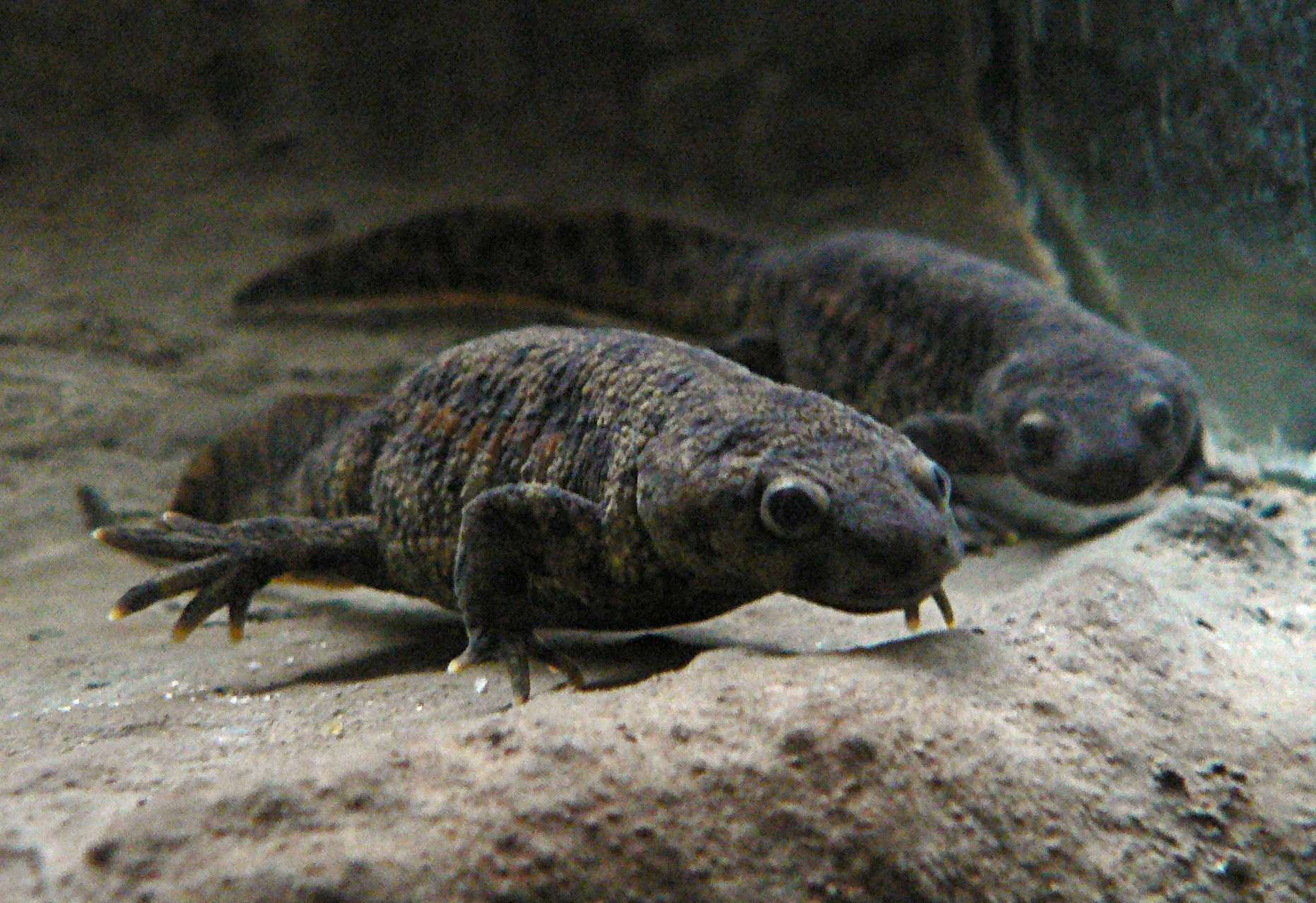 hight resolution of two grey newts taken from the front under water presumably in an aquarium