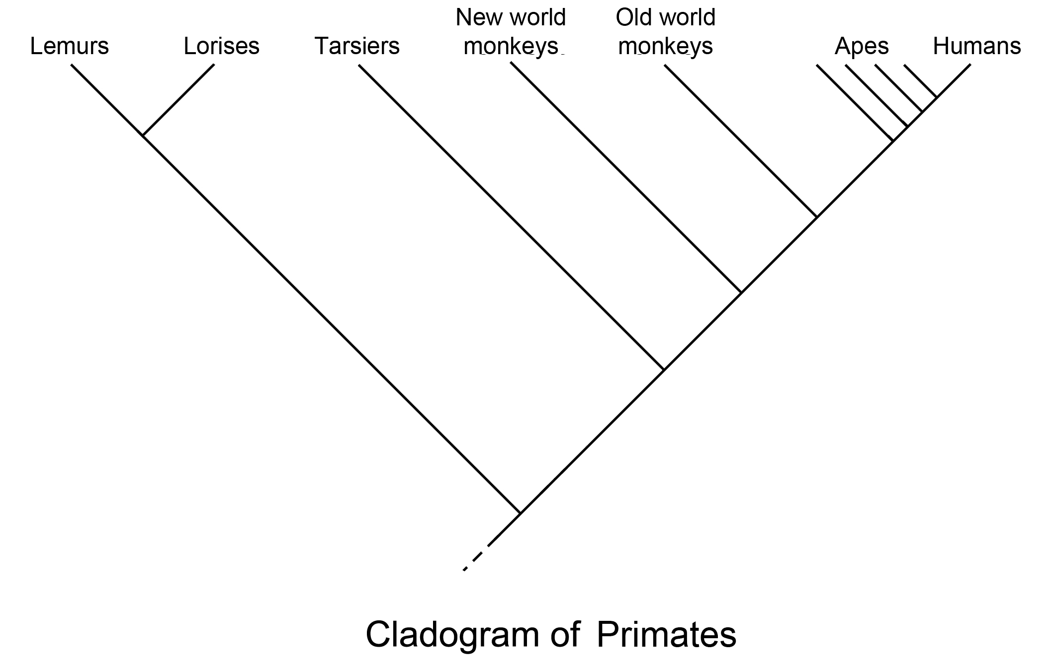 File Primate Cladogram