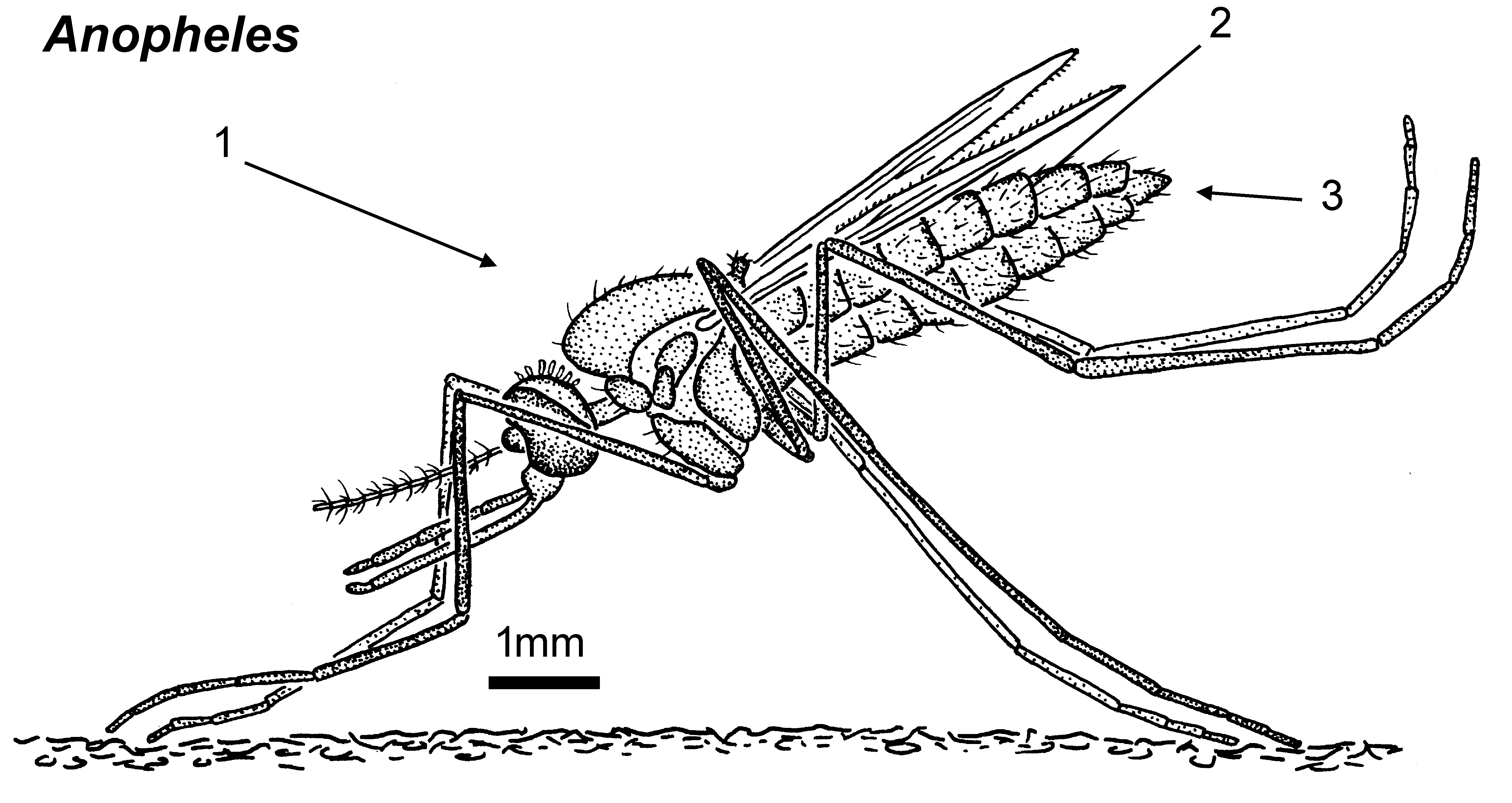 File Anopheles Female Lateral