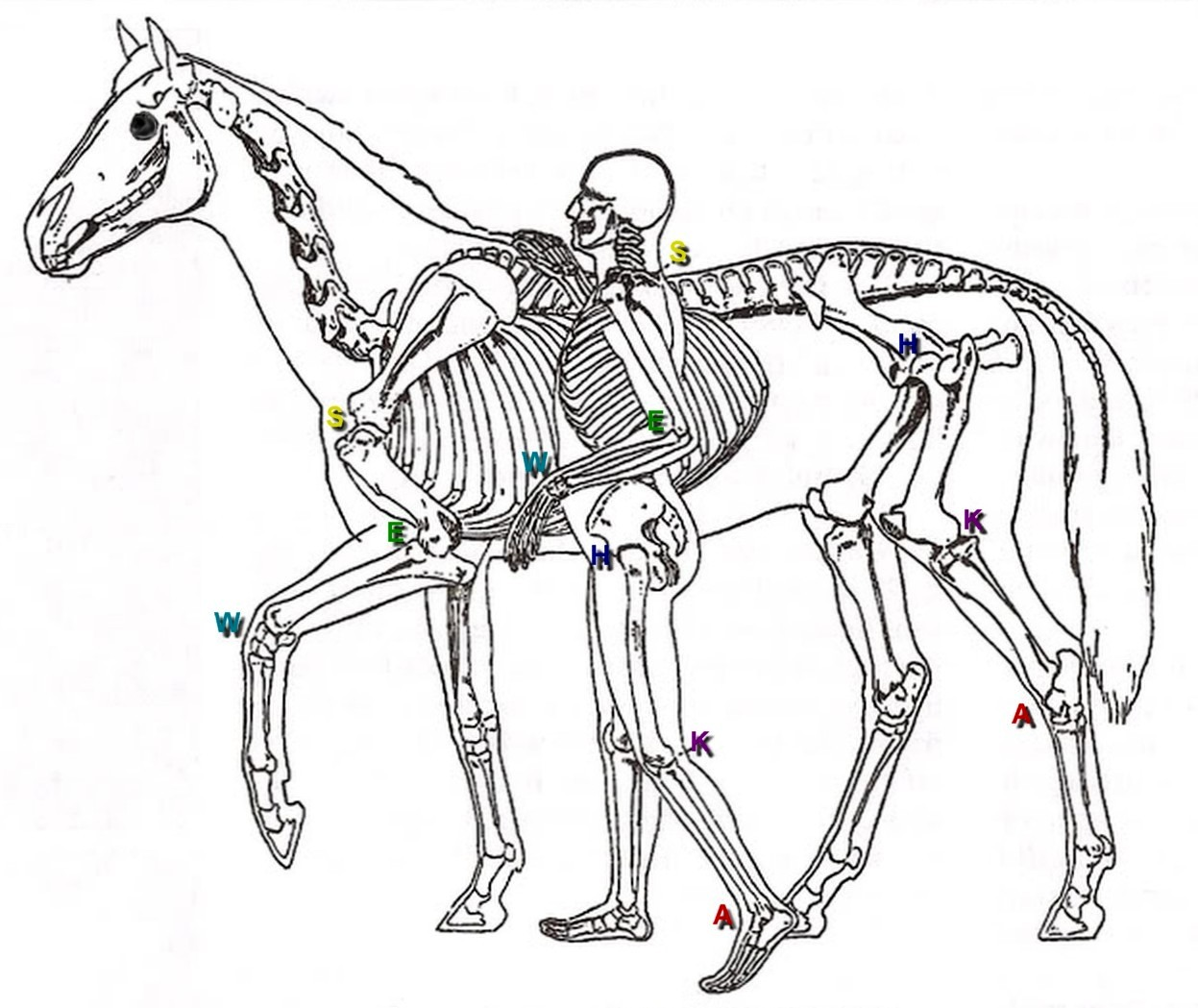 File Comparative View Of Skeletons Of Man And Horse C