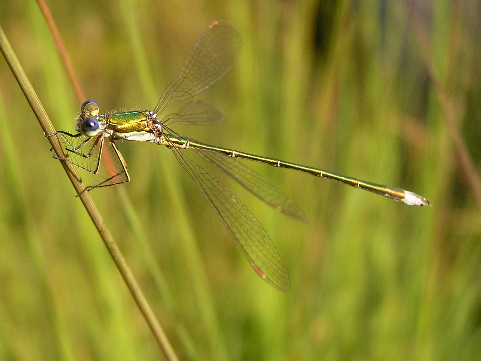https://i0.wp.com/upload.wikimedia.org/wikipedia/commons/a/a3/Lestes_virens02.jpg