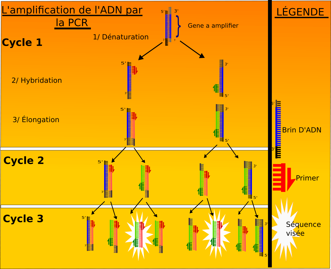 polymerase chain reaction diagram cub cadet ltx 1045 parts of pcr get free image about wiring