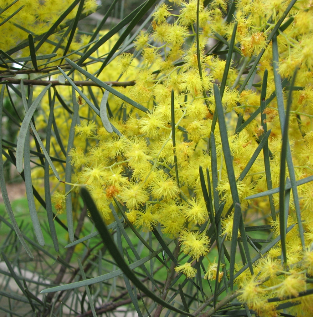 Acacia cognata  Wikipedia