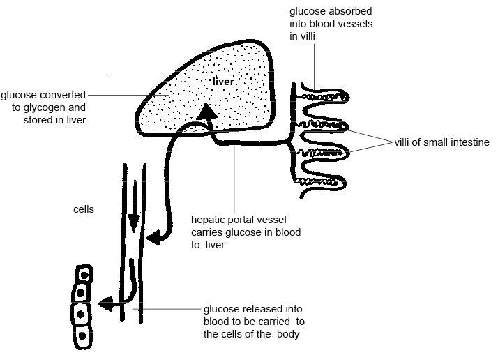 horse gi diagram isuzu npr wiring fuel pump anatomy and physiology of animals the gut digestion wikibooks control glucose by liver jpg