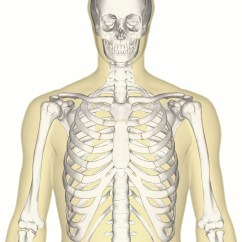 Skeletal System Anterior View Diagram Pioneer Avh X2800bs Youtube Human Skeleton Upper Body  Defenderauto Info
