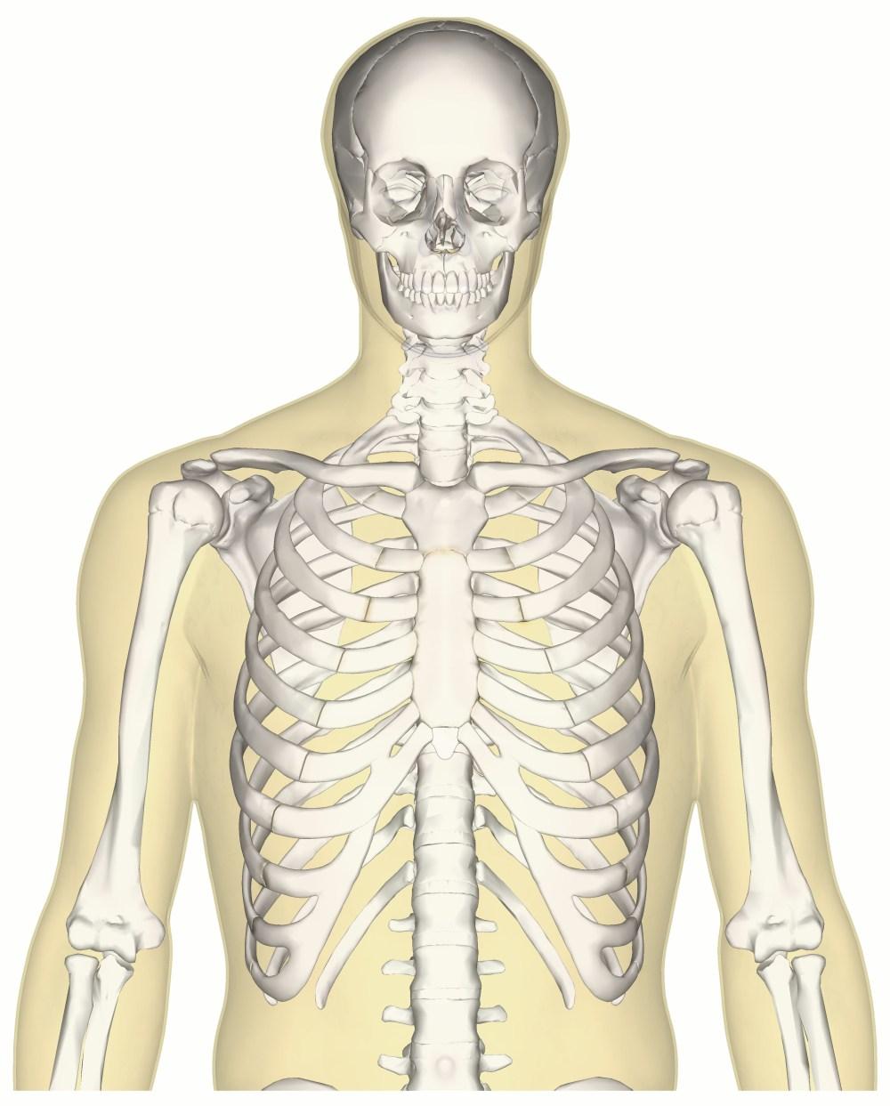 medium resolution of file human skeleton upper body anterior view jpg