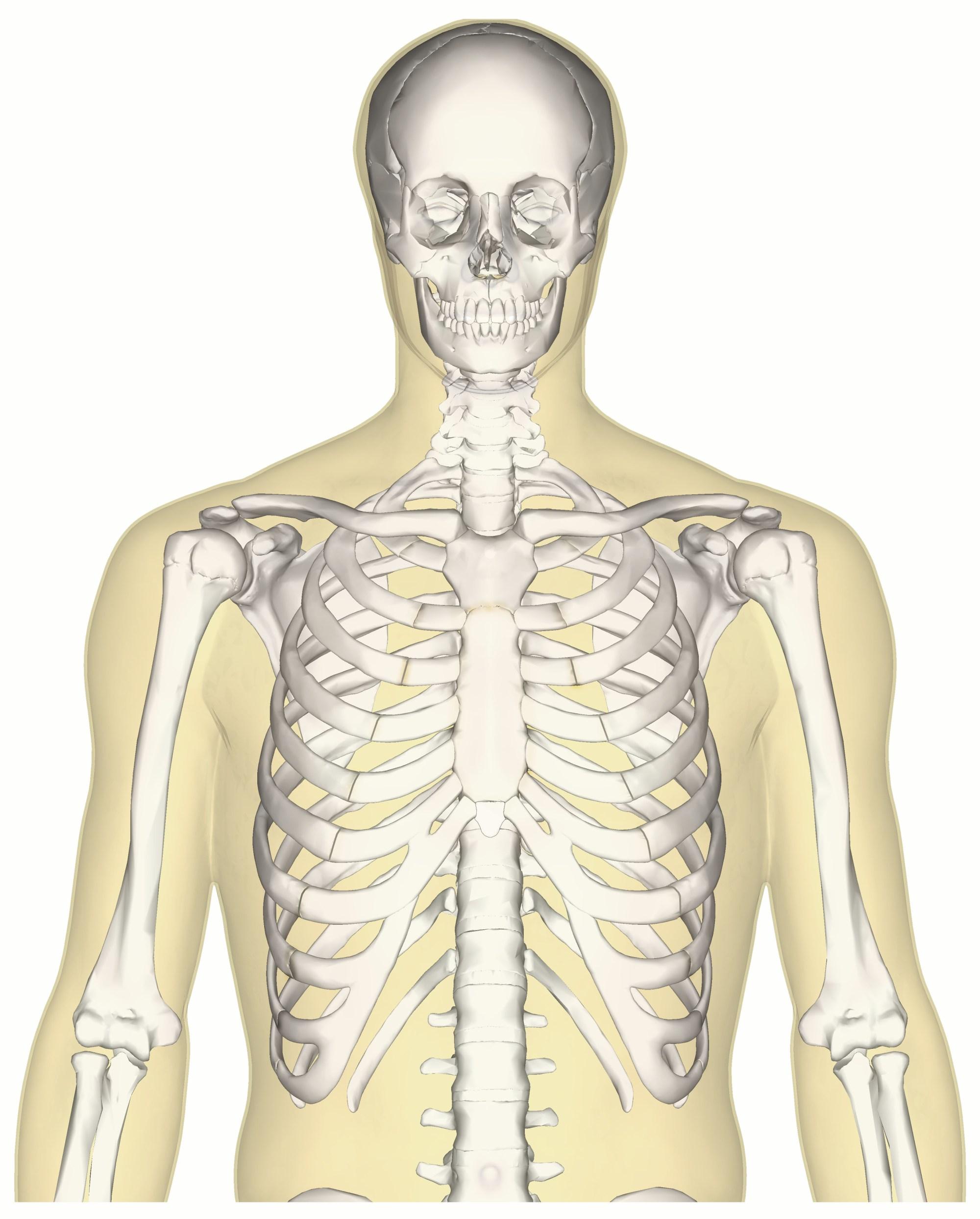 hight resolution of file human skeleton upper body anterior view jpg