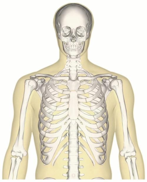 small resolution of file human skeleton upper body anterior view jpg