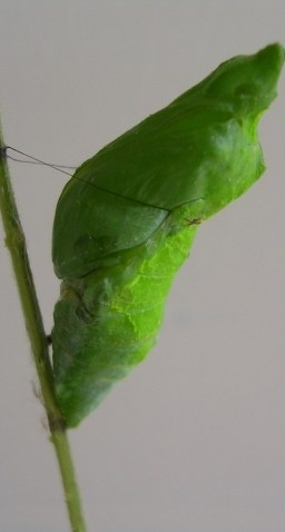 Pupa of Papilio polytes Linnaeus, 1758 – Common Mormon