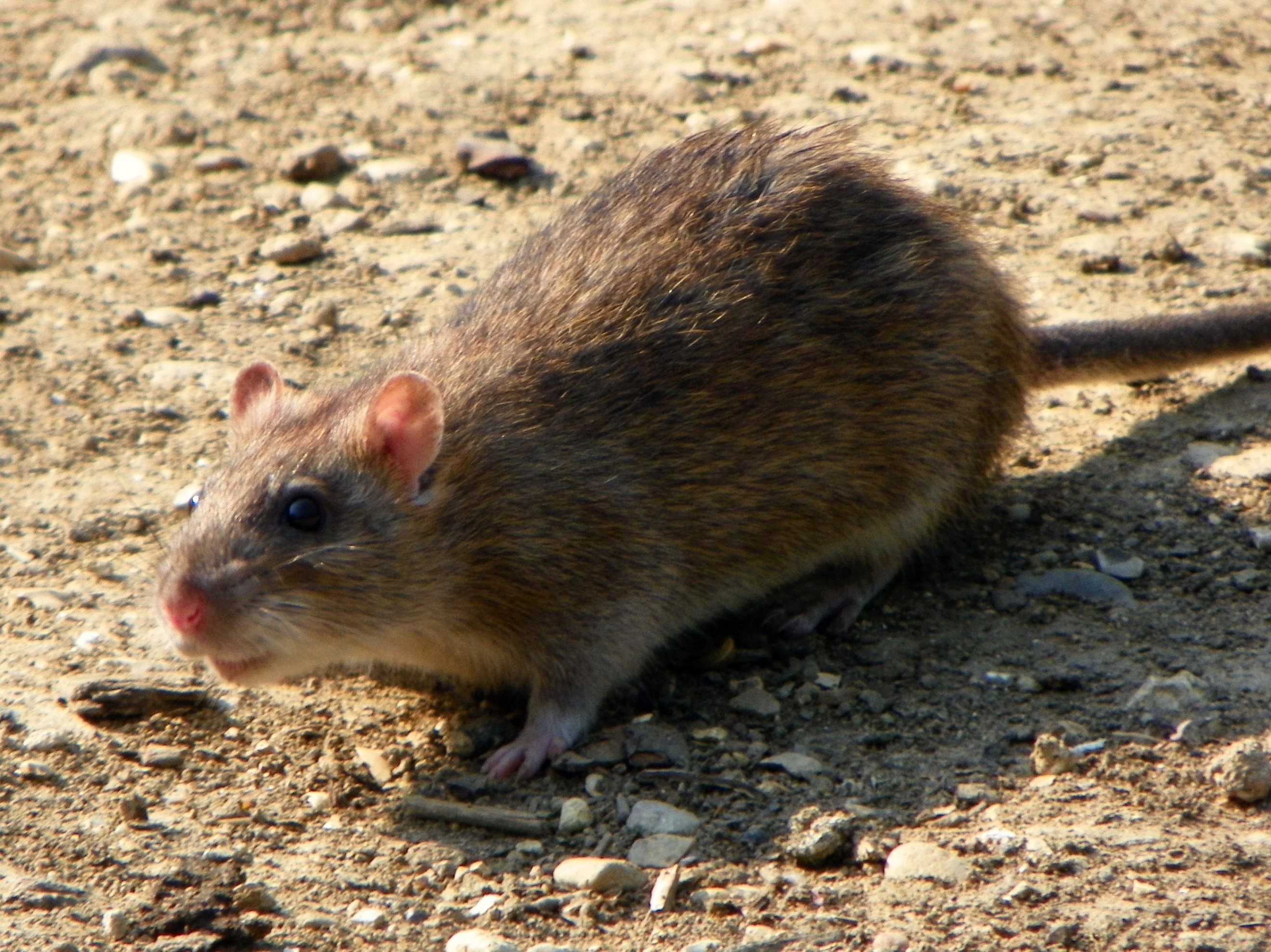 Brown rat - Wikipedia