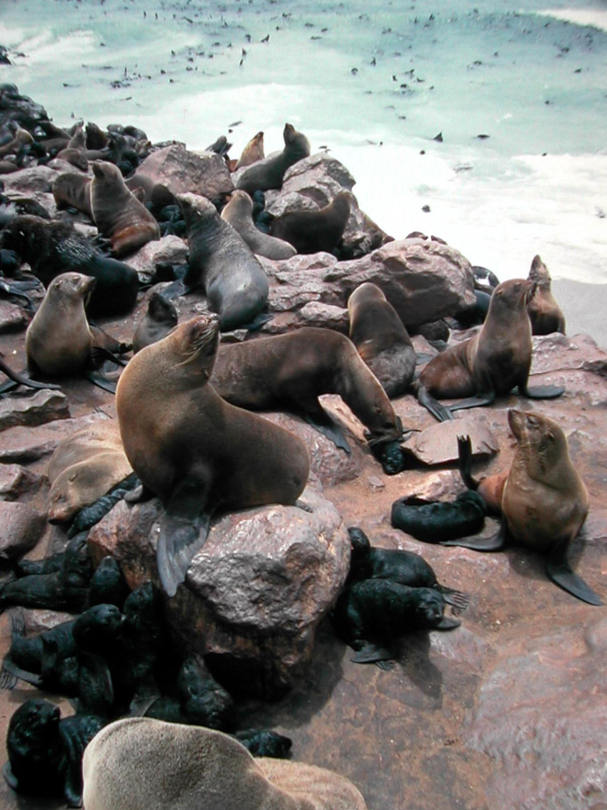 Fur seal  Wikipedia