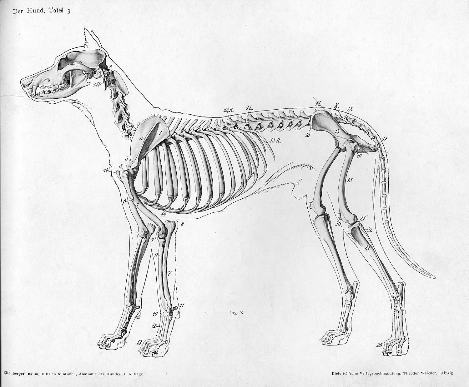 wolf skeleton diagram of the planets in order file dog anatomy lateral view jpg