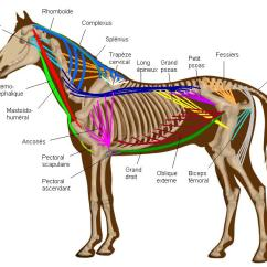 Horse Anatomy Diagram Muscles 1993 Toyota Corolla Fuse Box File Horsemuscles1 Jpg Wikimedia Commons