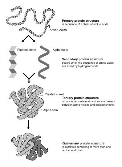Protein structure prediction  Wikipedia