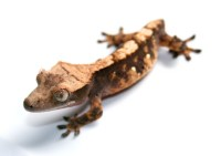 Crested gecko- 2- BB - ThingLink