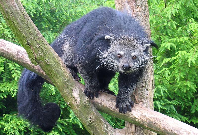 Binturong (Arctictis binturong) at Overloon, NL by Tassilo Rau