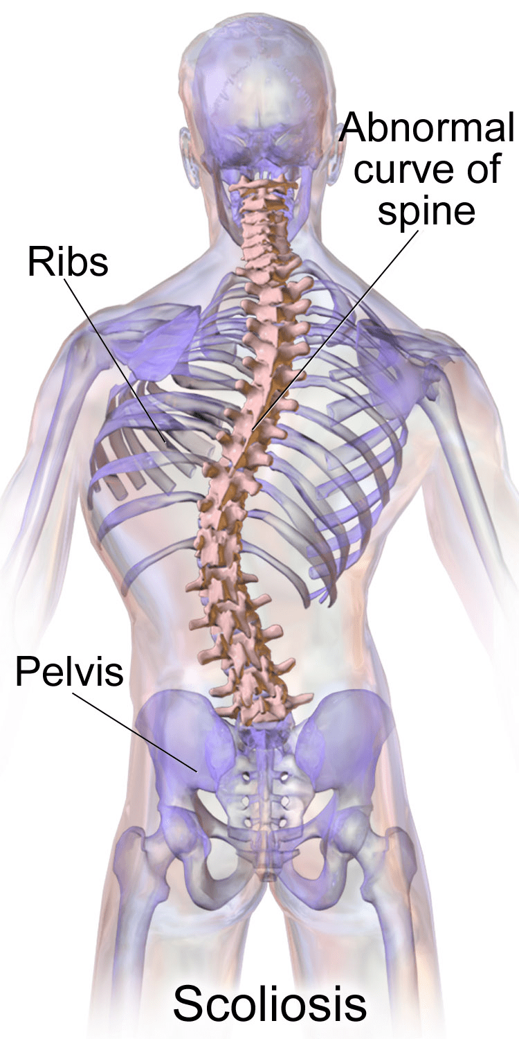 hight resolution of pelvi vertebrae diagram