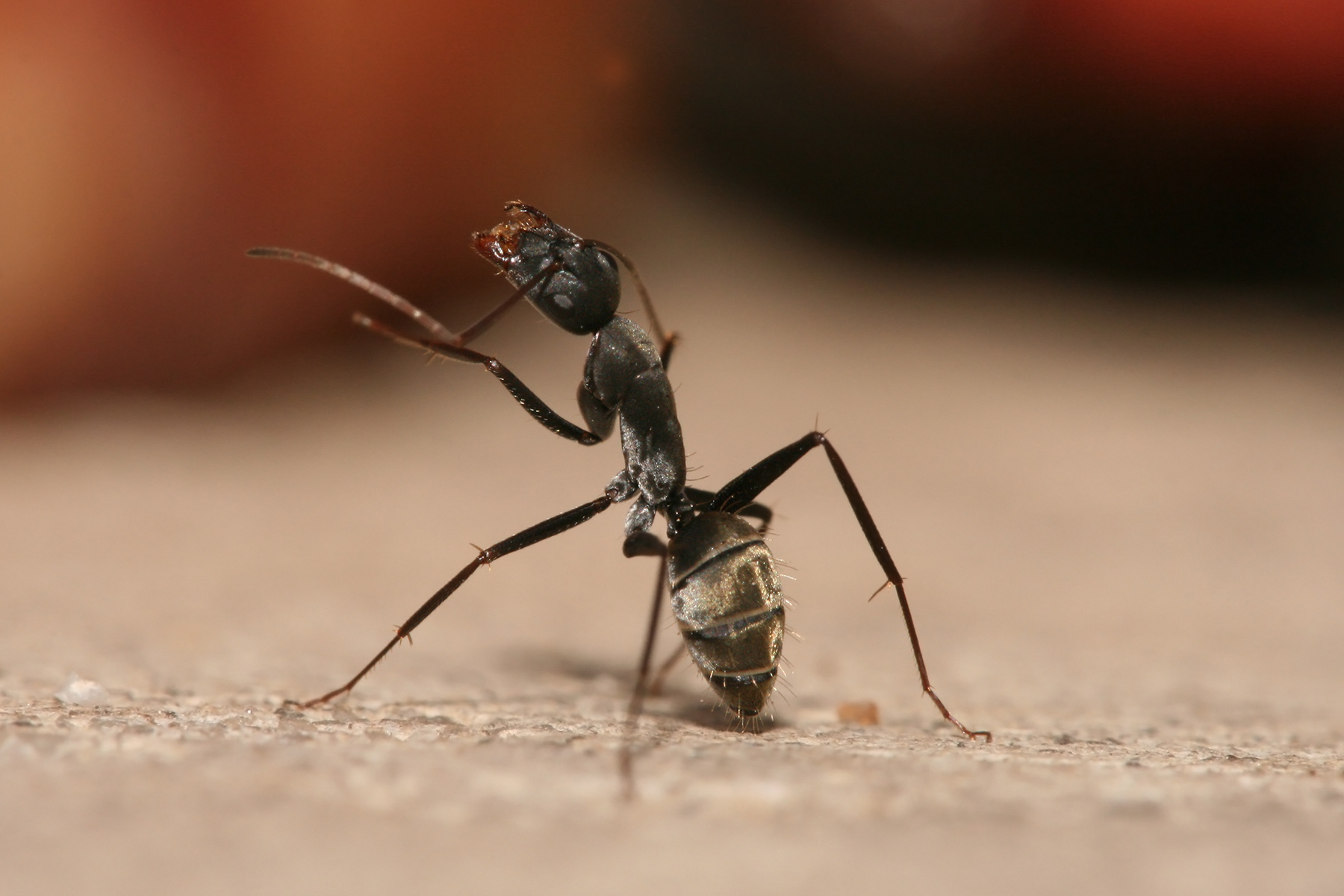 Carpenter ant (from Wikipedia)