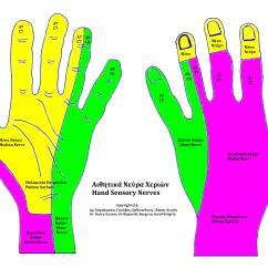 Hand Nerves Diagram 1974 Super Beetle Wiring Dermatomes Related Keywords Long