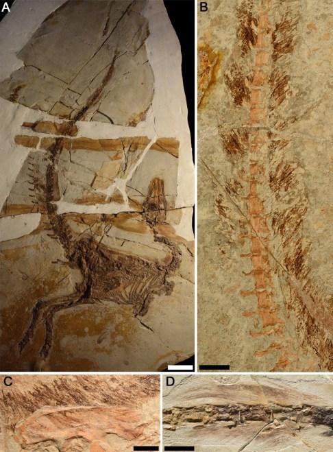 https://i0.wp.com/upload.wikimedia.org/wikipedia/commons/a/a7/Sinosauropteryx_plumage_fossils.jpg?resize=486%2C659&ssl=1