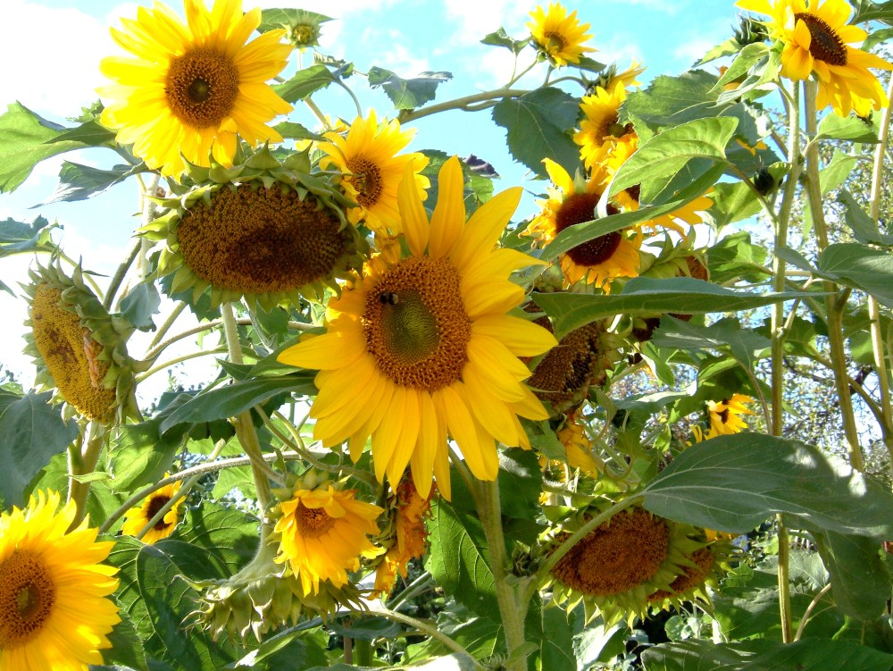 medium resolution of how do sunflowers reproduce