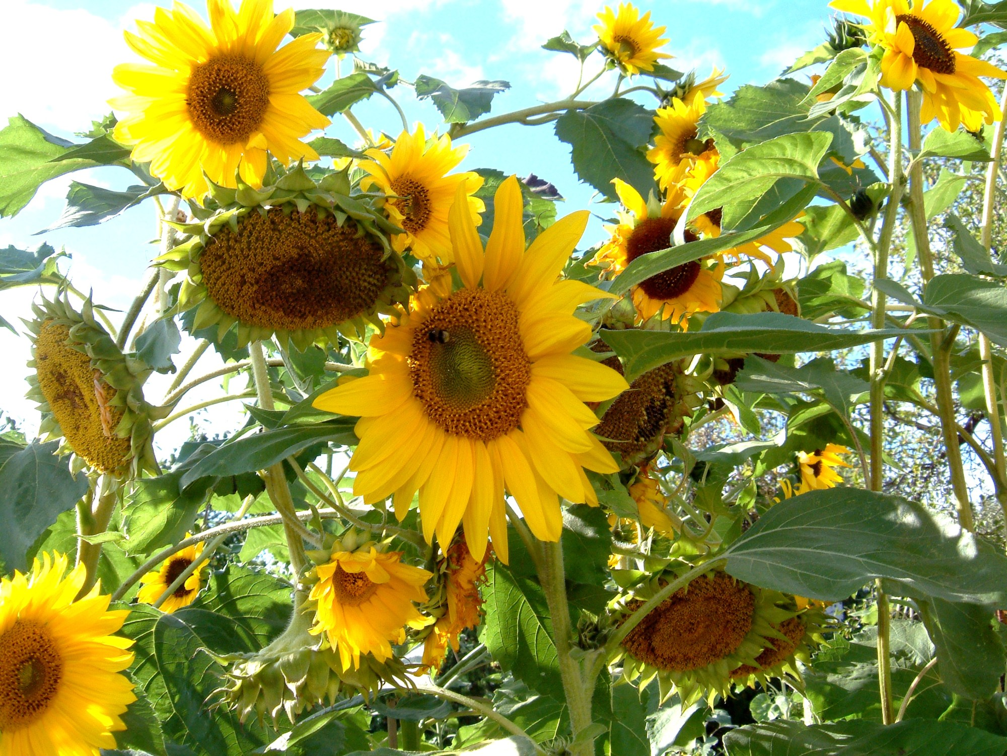 hight resolution of how do sunflowers reproduce