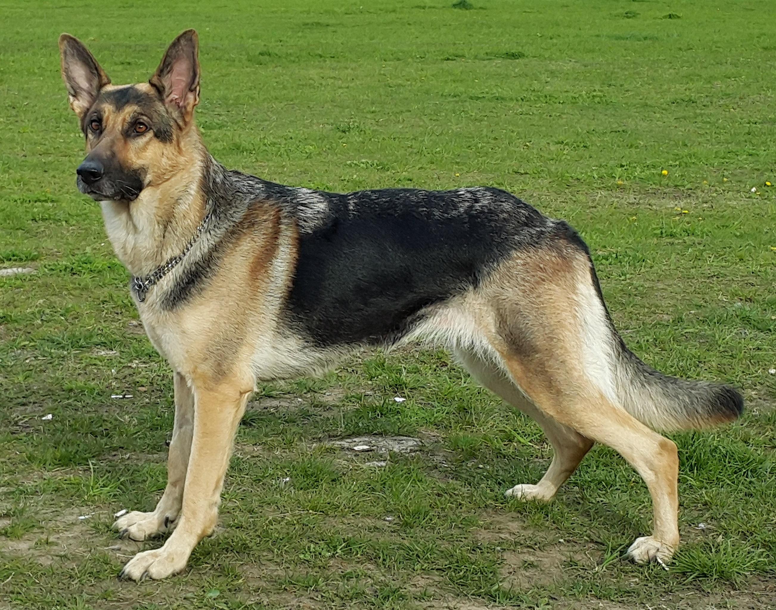 german shepherd wikipedia