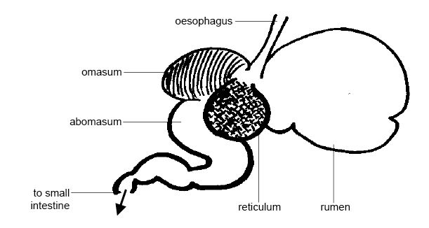 horse gi diagram 2004 jeep wrangler radio wiring anatomy and physiology of animals the gut digestion wikibooks rumen jpg
