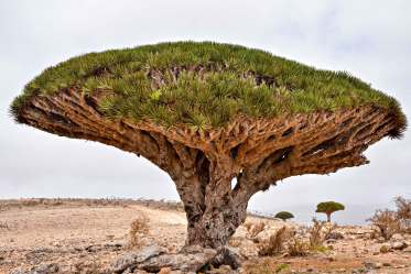 Image result for dragon blood tree