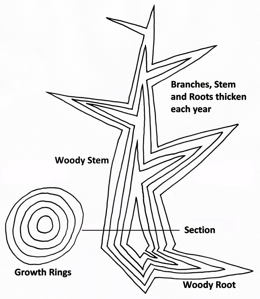 medium resolution of file tree secondary growth diagram jpg