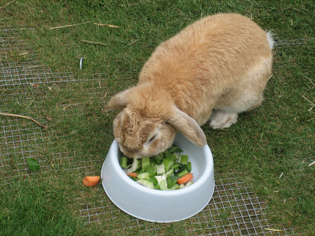 "Brown rabbit eating well ""Rabbit eating, ..."