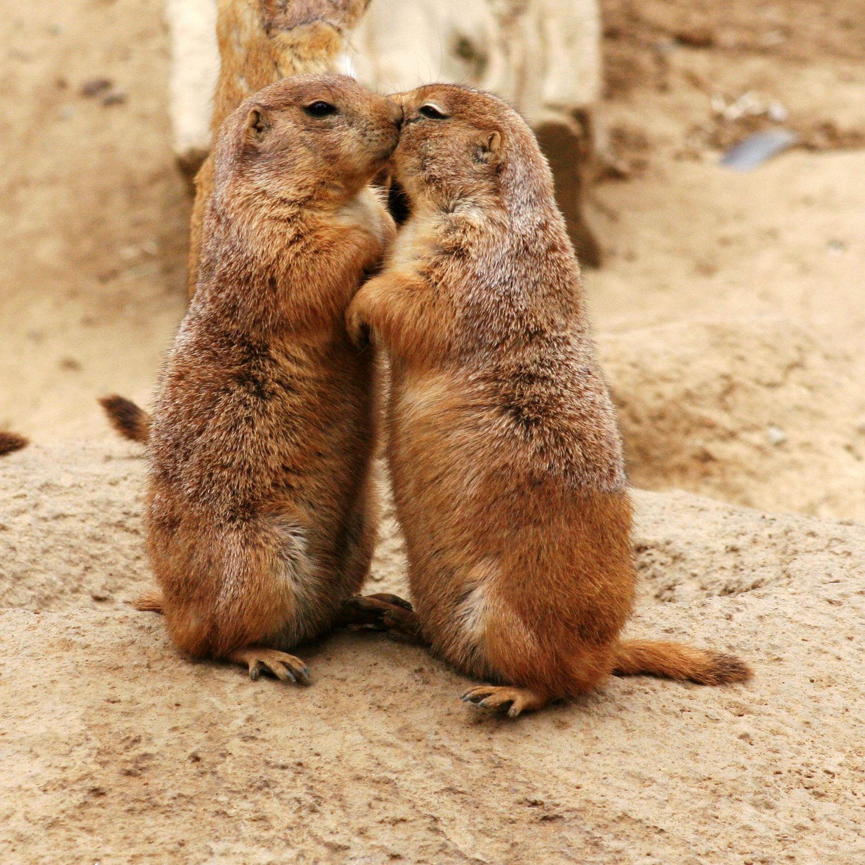 Kissing Black-tailed Prairie Dogs (Cynomys lud...