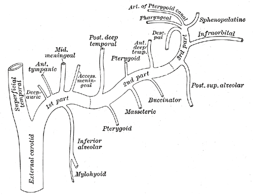 coronary arteries diagram branches solar hot water system wiring descending palatine artery - wikipedia