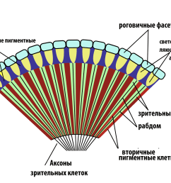 file insect compound eye diagram rus png [ 2000 x 1624 Pixel ]