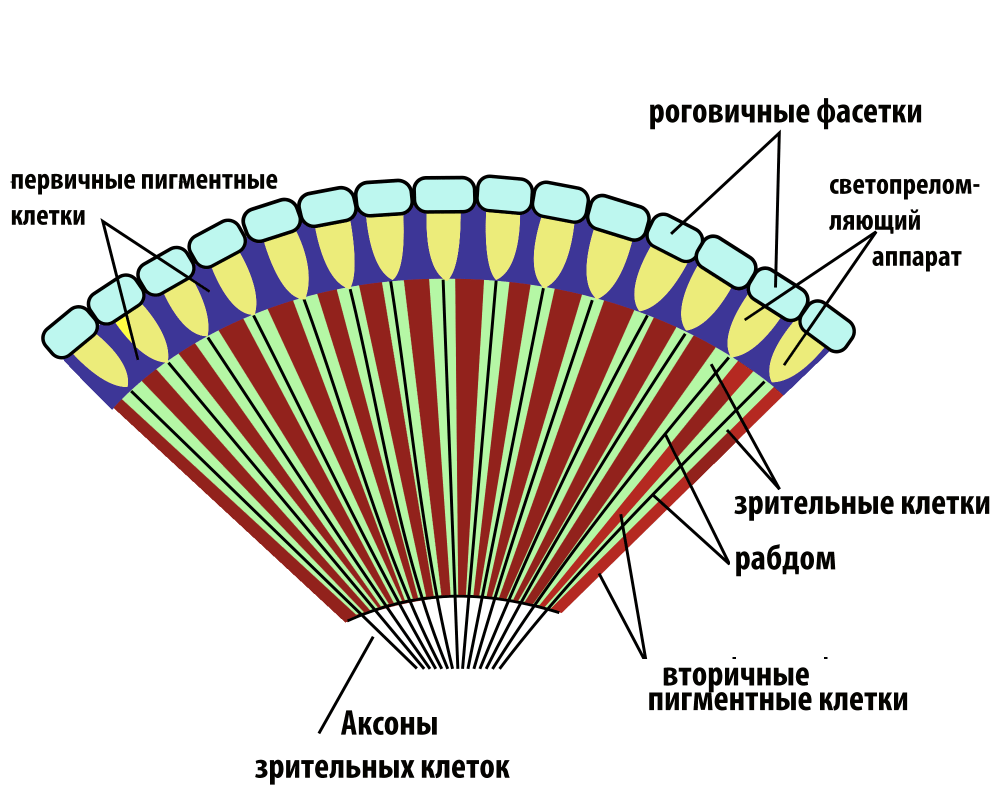 medium resolution of file insect compound eye diagram rus png