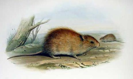 Australian swamp rat  Wikipedia