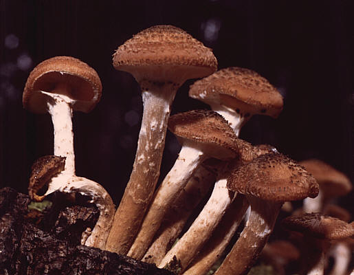 https://i0.wp.com/upload.wikimedia.org/wikipedia/commons/a/ab/Armillaria_ostoyae.jpg