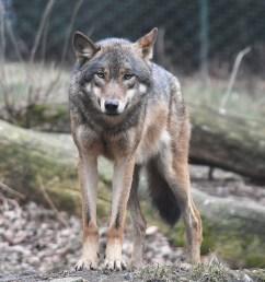 wolf size diagram [ 1412 x 1552 Pixel ]