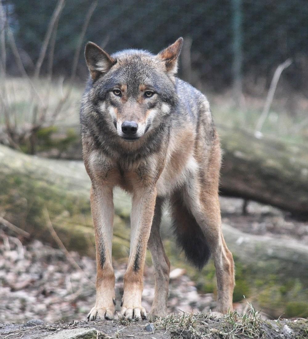 medium resolution of wolf size diagram