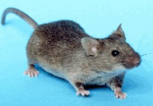 Common house mouse (Mus musculus), wild type.